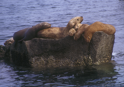 Life Cycle - Steller Sea Lion